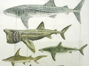 Original Art by Martin Machado - A Selection of the World's Most Endangered Sharks
