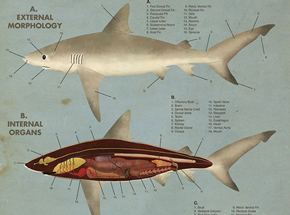 Art by Max Dalton - Anatomy of the Shark